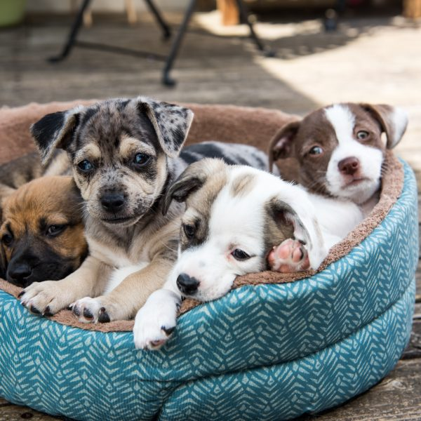 litter of terrier mix puppies in a blue dog bed
