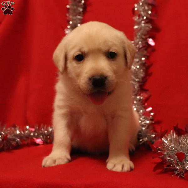 Pearl, Yellow Labrador Retriever Puppy