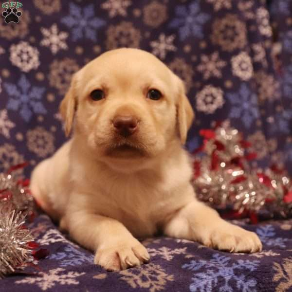 Roxy, Yellow Labrador Retriever Puppy