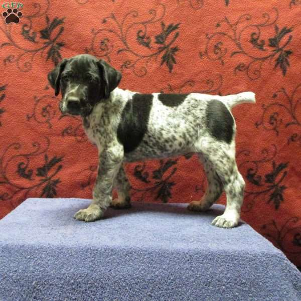 Shadow, German Shorthaired Pointer Puppy