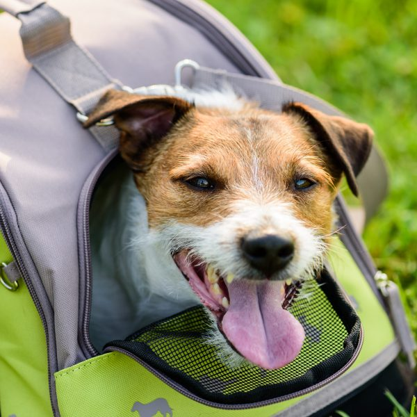 small terrier peeking out of a soft-sided dog carrier