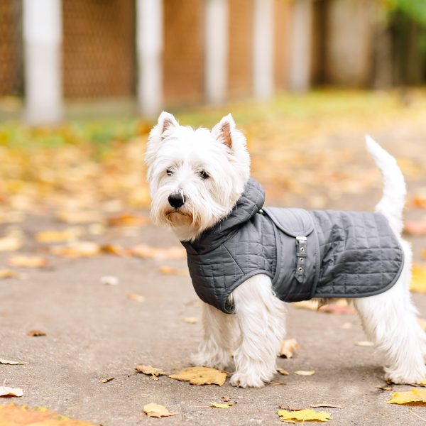 west highland terrier standing outside wearing a dog coat