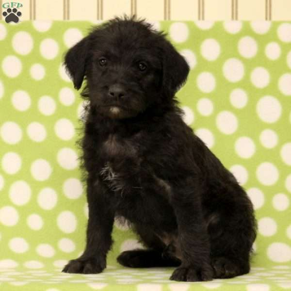 Wink, Standard Poodle Mix Puppy