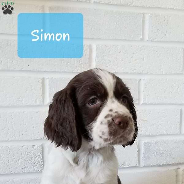 Simon, English Springer Spaniel Puppy