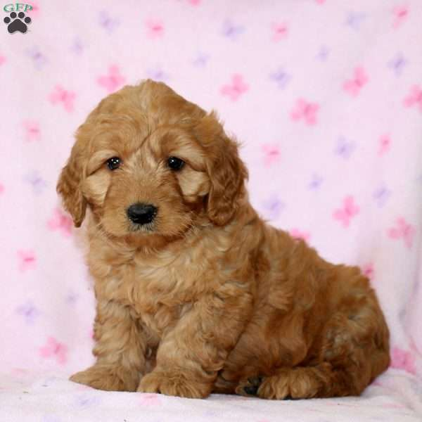Aaron, Mini Goldendoodle Puppy