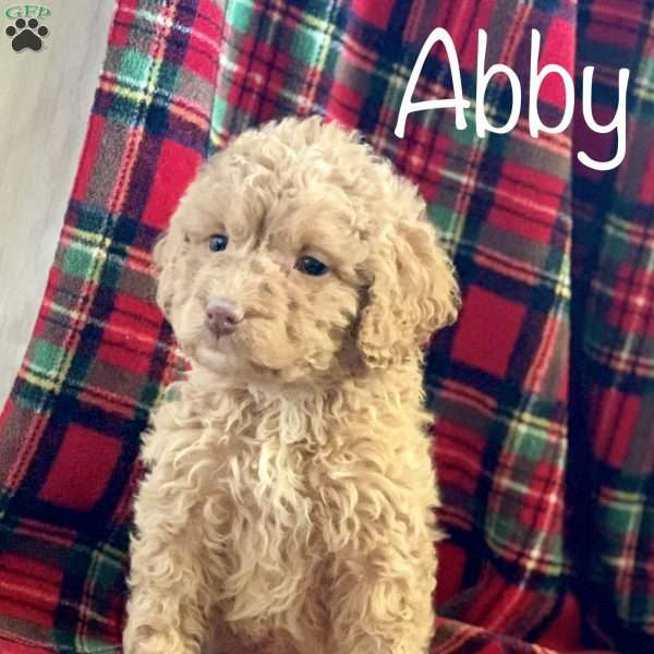 Abby, Mini Labradoodle Puppy