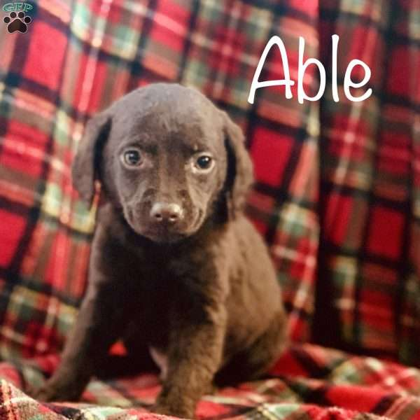 Able, Mini Labradoodle Puppy