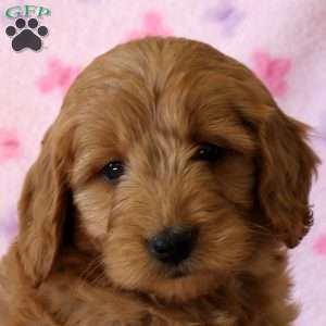 Alaina, Mini Goldendoodle Puppy