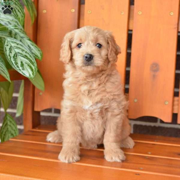 Alice, Mini Goldendoodle Puppy