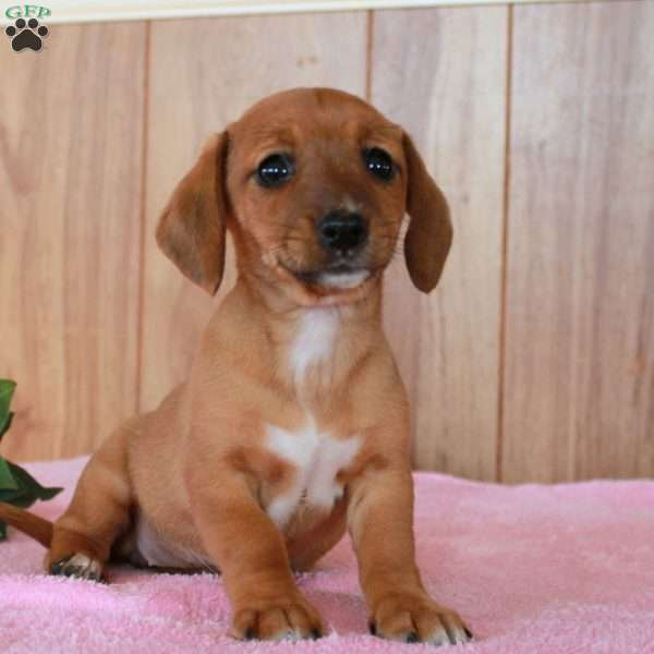 Amy Dachshund Mix Puppy For Sale In Pennsylvania