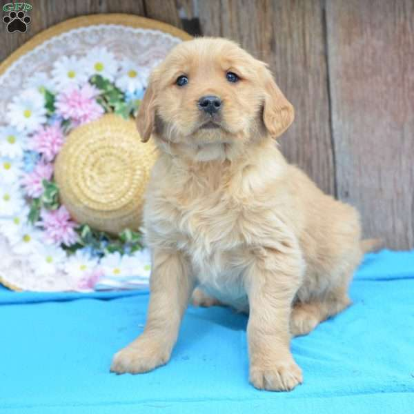 Allie, Golden Retriever Puppy