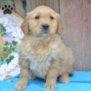 Amber, Golden Retriever Puppy