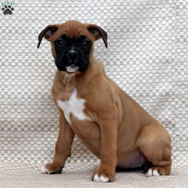 Amy, Boxer Puppy