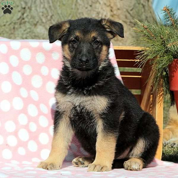 Andy, German Shepherd Puppy