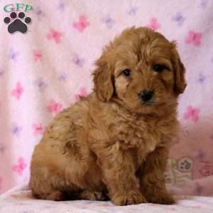 Annie, Mini Goldendoodle Puppy