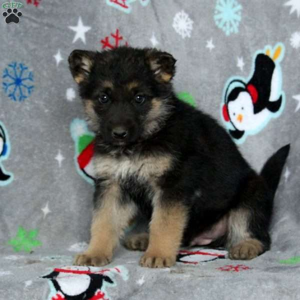 Baxter, German Shepherd Puppy