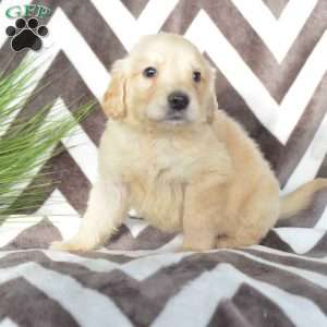 Biscuit, Golden Retriever Puppy