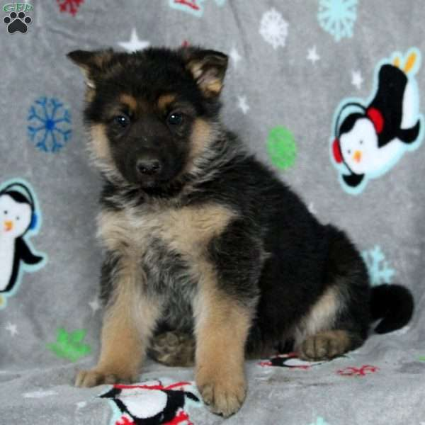 Bjorn, German Shepherd Puppy