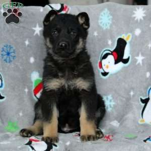 Blaze, German Shepherd Puppy