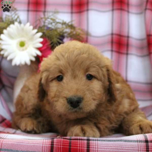 Blessings, Mini Goldendoodle Puppy