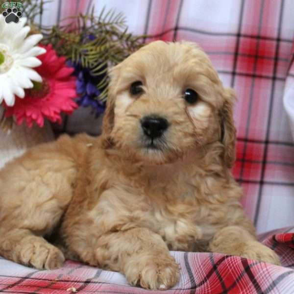 Brene, Mini Goldendoodle Puppy