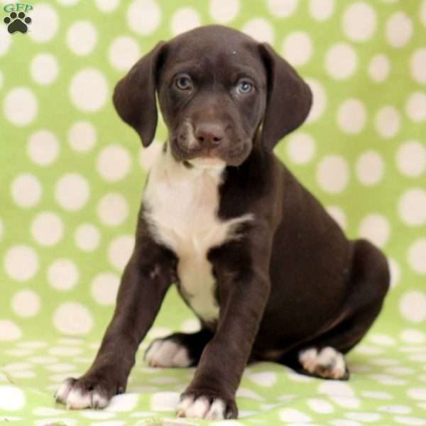 Brownie, German Shorthaired Pointer Mix Puppy
