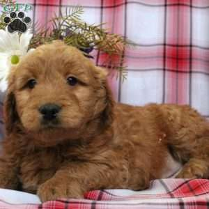 Brownie, Mini Goldendoodle Puppy