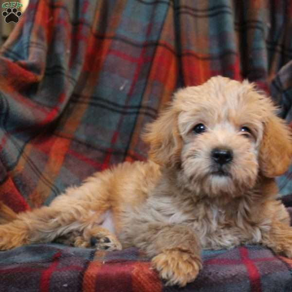Bubba J, Mini Goldendoodle Puppy