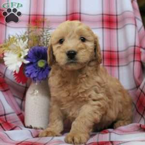 Buttercup, Mini Goldendoodle Puppy