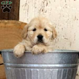 Cade, Golden Retriever Puppy