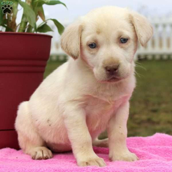 Cameo, Yellow Labrador Retriever Puppy