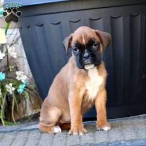 Candy, Boxer Puppy