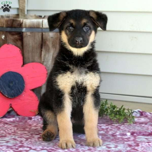 Caster, German Shepherd Puppy