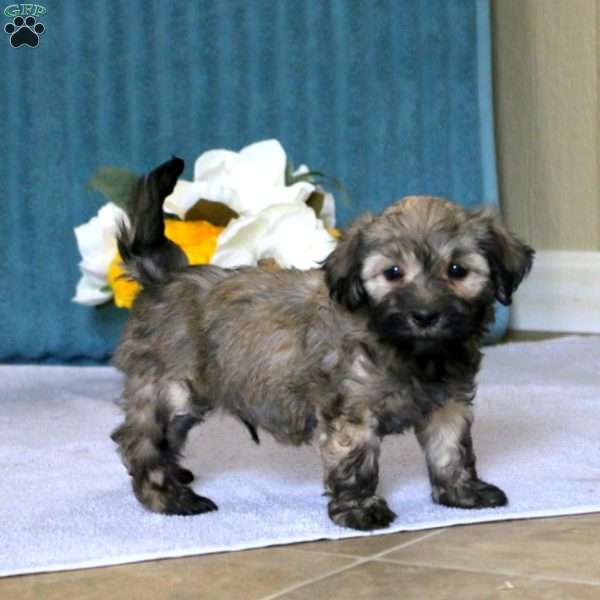 Champ, Havanese Puppy