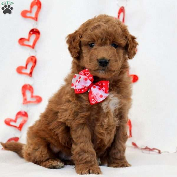 Charlie – F1B, Mini Goldendoodle Puppy