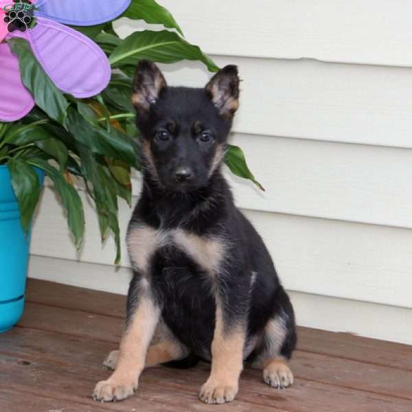 Chelsie, German Shepherd Puppy