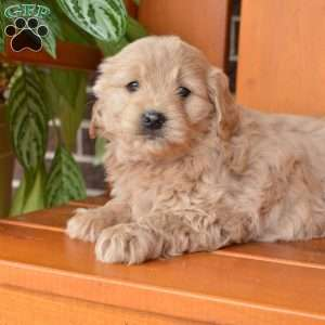 Chloe, Mini Goldendoodle Puppy