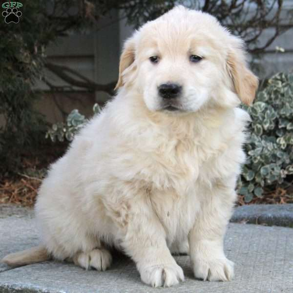 Chrissy, Golden Retriever Puppy
