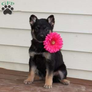 Christy, German Shepherd Puppy