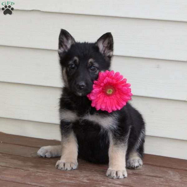 Clara, German Shepherd Puppy