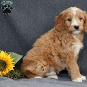 Cory, Mini Goldendoodle Puppy