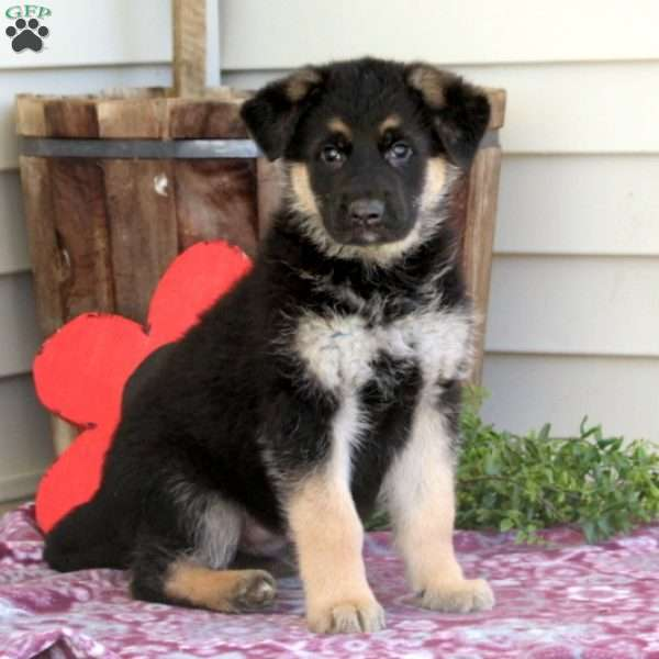 Cotton, German Shepherd Puppy