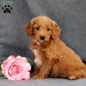 Daffodil, Mini Goldendoodle Puppy