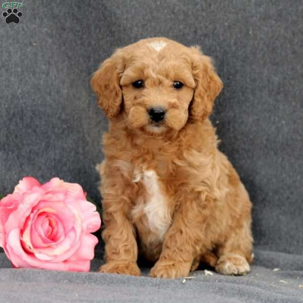 Dayton, Mini Goldendoodle Puppy