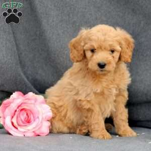 Delia, Mini Goldendoodle Puppy