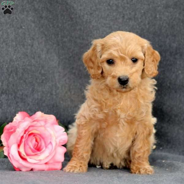Delphi, Mini Goldendoodle Puppy