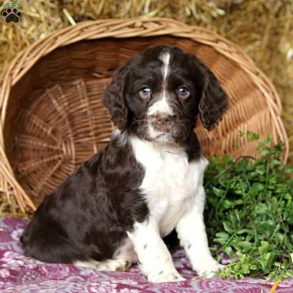 Dolly, English Springer Spaniel Puppy
