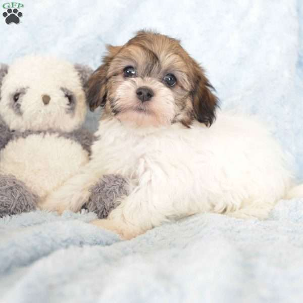 Domino Havanese Puppy For Sale In Ohio