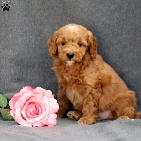 Duddley, Mini Goldendoodle Puppy