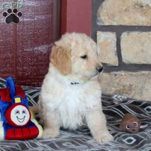 Duke, Mini Goldendoodle Puppy